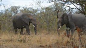 Δύο νέοι αφρικανικοί ελέφαντες που παλεύουν στο θάμνο Σαφάρι άγριας φύσης στο εθνικό πάρκο Kruger, Νότια Αφρική φιλμ μικρού μήκους