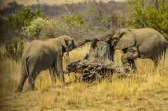 Δύο νέοι ελέφαντες ταύρων αγωνίζονται στο εθνικό πάρκο Kruger στοκ φωτογραφία