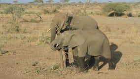 Δύο νέοι ελέφαντες που τρώνε τα υπολείμματα των φύλλων μιας ξηράς σπασμένης ακακίας απόθεμα βίντεο