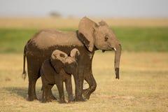Δύο νέοι ελέφαντες, Amboseli, Κένυα Στοκ Φωτογραφία