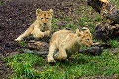 Δύο νέο cubs λιονταριών παιχνίδι Στοκ Εικόνες