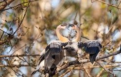 Δύο νεανικά πουλιά Anhinga αποκαλούμενα anhinga Anhinga και snakebird Στοκ εικόνες με δικαίωμα ελεύθερης χρήσης