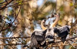 Δύο νεανικά πουλιά Anhinga αποκαλούμενα anhinga Anhinga και snakebird Στοκ Φωτογραφία