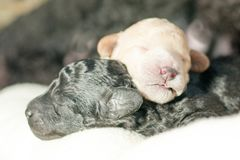 Δύο νεογέννητα κουτάβια από κοινού Στοκ Φωτογραφίες