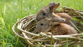 Δύο νεογέννητα μικρά εβδομαδιαία χαριτωμένα χνουδωτά λαγουδάκια σε ένα ψάθινο καλάθι στην πράσινη χλόη το καλοκαίρι ή την άνοιξη φιλμ μικρού μήκους