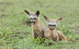 Δύο νεολαίες κτυπούν τις έχουσες νώτα αλεπούδες, Τανζανία Στοκ Εικόνες