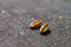 Δύο ξηρά σιτάρια σίτου κλείνουν επάνω στο θολωμένο καφετή καμβά υποβάθρου Στοκ Φωτογραφίες