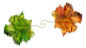 Δύο ξηρά σφένδαμνος-βγάζουν φύλλα, πορτοκάλι και πράσινος Στοκ φωτογραφία με δικαίωμα ελεύθερης χρήσης