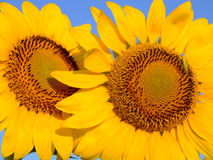 Δύο λουλούδια και ένα ζωύφιο Στοκ φωτογραφία με δικαίωμα ελεύθερης χρήσης