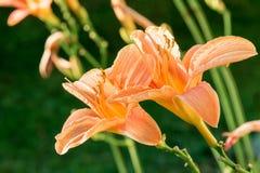 Δύο λουλούδια των ρόδινων lilys στοκ εικόνες