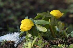 Δύο λουλούδια χειμερινών ακονίτων στοκ εικόνες