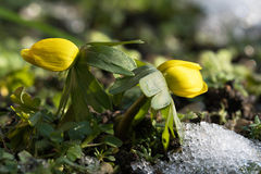 Δύο λουλούδια χειμερινών ακονίτων στοκ φωτογραφίες
