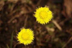 Δύο λουλούδια foalfoot στενό σε έναν επάνω λιβαδιών Στοκ Εικόνα