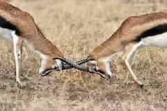 Δύο πάλη Gazelles Thomson Στοκ Εικόνες