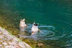 Δύο πάπιες βουτούν στο νερό σε αναζήτηση των τροφίμων στοκ εικόνα με δικαίωμα ελεύθερης χρήσης
