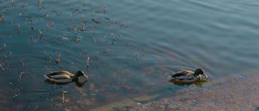 Δύο πάπιες κολυμπούν στη λίμνη στον καιρό φθινοπώρου λίμνη με μια πάπια στοκ φωτογραφίες