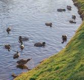 Δύο πάπιες κολυμπούν στη λίμνη στον καιρό φθινοπώρου λίμνη με μια πάπια στοκ φωτογραφίες με δικαίωμα ελεύθερης χρήσης