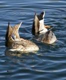Δύο πάπιες παρακολουθούν επάνω τα κεφάλια στο νερό Στοκ Εικόνες