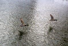 Δύο πάπιες πετούν Στοκ φωτογραφία με δικαίωμα ελεύθερης χρήσης