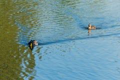 Δύο πάπιες που επιπλέουν στην επιφάνεια νερού της δεξαμενής Ένας σαν θέλει να προφθάσει άλλο και το όλο δικοί του Στοκ Εικόνες