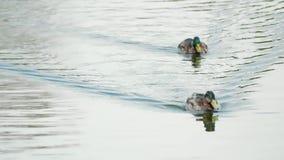 Δύο πάπιες που κολυμπούν σε μια λίμνη απόθεμα βίντεο