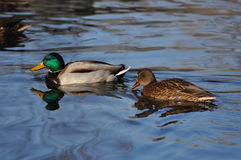 Δύο πάπιες που κολυμπούν στο νερό Στοκ Φωτογραφία