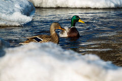 Δύο πάπιες πρασινολαιμών στο νερό Στοκ φωτογραφία με δικαίωμα ελεύθερης χρήσης