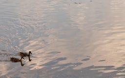 Δύο πάπιες σε έναν ποταμό στοκ φωτογραφίες με δικαίωμα ελεύθερης χρήσης