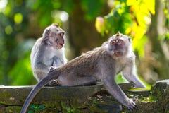 Δύο πίθηκοι στο δάσος του Μπαλί Ubud Στοκ Εικόνες