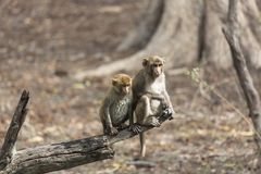 Δύο πίθηκοι της διαφορετικής ηλικίας Στοκ φωτογραφίες με δικαίωμα ελεύθερης χρήσης