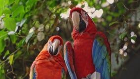Δύο παπαγάλοι macaw απόθεμα βίντεο