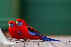 Δύο παπαγάλοι rosella που τρώνε το σπόρο με ένα εκλεκτικό υπόβαθρο θαμπάδων Στοκ Εικόνες