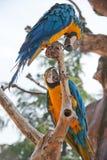 Μπλε και κίτρινο Macaw Στοκ Φωτογραφία