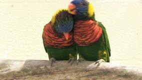 Δύο παπαγάλοι που αγκαλιάζουν σε έναν κλάδο απόθεμα βίντεο