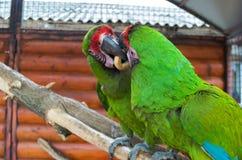 Δύο παπαγάλοι υποστηρίζουν για bagel Στοκ φωτογραφία με δικαίωμα ελεύθερης χρήσης