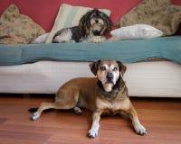 Δύο παλαιά σκυλιά Στοκ Φωτογραφία