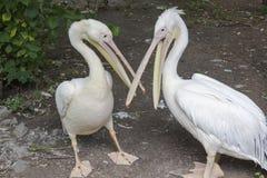 Δύο πελεκάνοι με την ανοικτή στάση ραμφών στο έδαφος zoo στοκ εικόνες