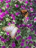Δύο πεταλούδες που σκαρφαλώνουν στα όμορφα πορφυρά λουλούδια Στοκ φωτογραφίες με δικαίωμα ελεύθερης χρήσης