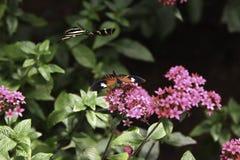 Δύο πεταλούδες Στοκ εικόνα με δικαίωμα ελεύθερης χρήσης