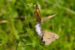 Δύο πεταλούδες Στοκ εικόνες με δικαίωμα ελεύθερης χρήσης