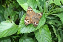 Δύο πεταλούδες Buckeye Στοκ φωτογραφία με δικαίωμα ελεύθερης χρήσης