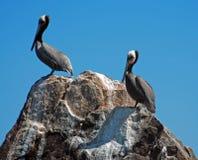 Δύο πελεκάνοι εσκαρφάλωσαν στο βράχο στο λιμάνι Cabo SAN Lucas κοντά στο Los Arcos (τέλος εδαφών) σε Baja Μεξικό Στοκ Εικόνα