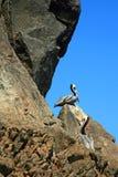 Δύο πελεκάνοι εσκαρφάλωσαν στο βράχο στο λιμάνι Cabo SAN Lucas κοντά στο Los Arcos (τέλος εδαφών) σε Baja Μεξικό Στοκ Εικόνες
