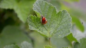 Δύο πορτοκαλιά και κόκκινα ladybugs ζευγαρώνουν και σέρνονται σε ένα φύλλο σταφίδων στον αέρα, τοπ άποψη φιλμ μικρού μήκους