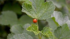 Δύο πορτοκαλιά και κόκκινα ladybugs ζευγαρώνουν και σέρνονται στο φύλλο σταφίδων στον αέρα απόθεμα βίντεο