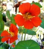Δύο πορτοκαλιά Nasturtiums, majus Tropaeolum στοκ φωτογραφίες