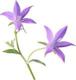 Δύο πορφυρά bellflowers απεικόνιση αποθεμάτων