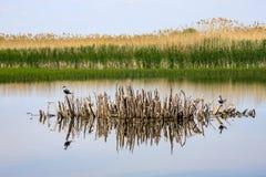 Δύο πουλιά σε ένα επιπλέον νησάκι καλάμων Στοκ φωτογραφίες με δικαίωμα ελεύθερης χρήσης