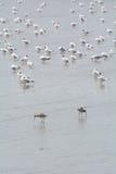 Δύο πουλιά θάλασσας που βρίσκουν το θήραμα στην παραλία στοκ εικόνες