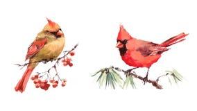 Δύο πουλιών καρδιναλίων αρσενικό και θηλυκό Watercolor ζεύγος αγάπης απεικόνισης καθορισμένο συρμένο χέρι Στοκ Εικόνες